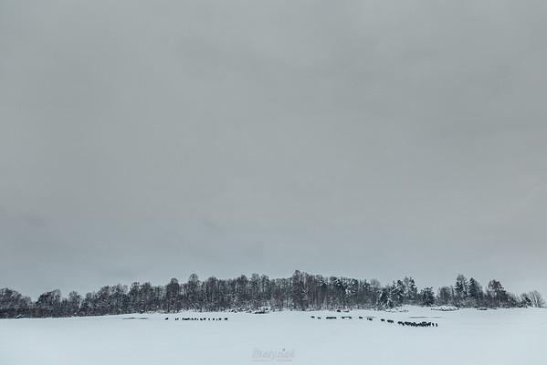 Chmara żubrów (Bison bonasus) w miejscu zimowego dokarmiania Tworylne, Bieszczady ©Mateusz Matysiak