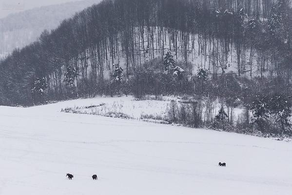 Potyczki młodych żubrów (Bison bonasus) Bieszczady ©Mateusz Matysiak