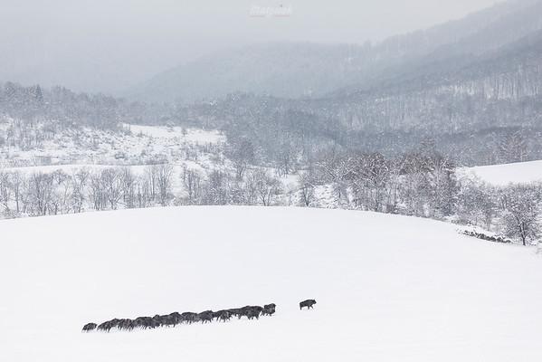 Chmara biegnących żubrów (Bison bonasus) Bieszczady ©Mateusz Matysiak
