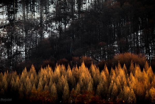 Modrzewie u podnóża Otrytu Bieszczady ©Mateusz Matysiak