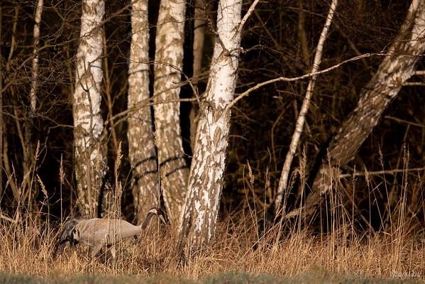 Żuraw (Grus grus) wychodzący z leśnego gniazdowiska ©Mateusz Matysiak