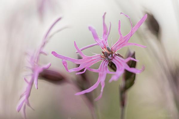 Kwitnąca firletka poszarpana (Silene flos-cuculi) ©Mateusz Matysiak