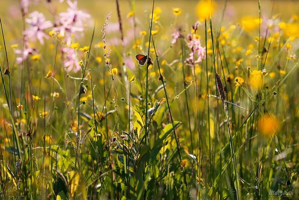 Czerwcowa łąka