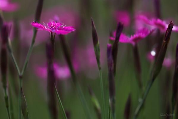 Goździk kropkowany (Dianthus deltoides) ©Agata Katafiasz-Matysiak