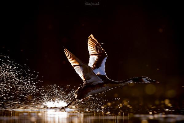 Startujący perkoz dwuczuby (Podiceps cristatus) ©Mateusz Matysiak