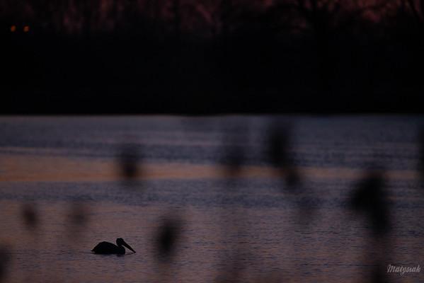 Pelikan różowy (Pelecanus onocrotalus) Stawy Raszyńskie (pow. pruszkowski); 06.04.2018 ©Mateusz Matysiak