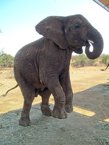 An elphant showing how it can jump.