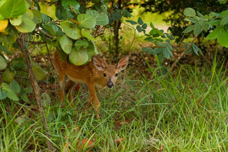 Key Deer Fawn, Big Pine Key, FK