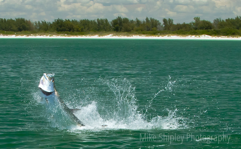 Tarpon Fight, Florida Keys