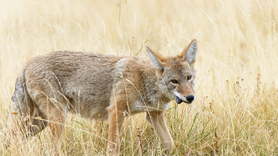 Coyote in the Lamar Valley