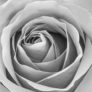 Red Rose in B/W