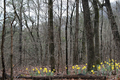 Daffodils - March.