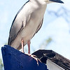 Mature Black-crowned Night-Heron