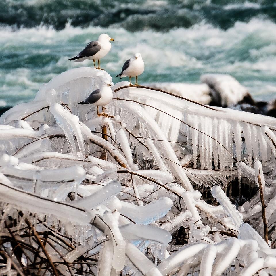 2016-03-13_Niagara_Ice_Birds_06