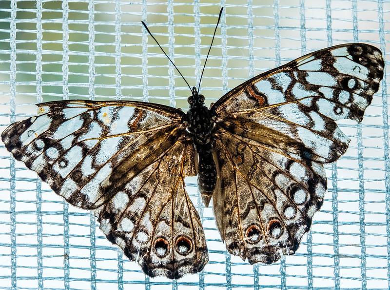 2016-03-16_Niagara_Butterflies_11