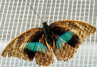 2016-03-16_Niagara_Butterflies_17