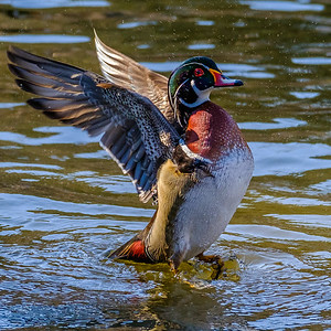 2017-04-16_Wood_Ducks_09