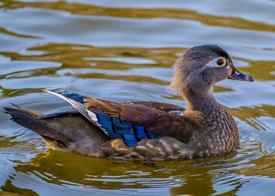 2017-04-16_Wood_Ducks_20