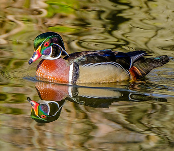 2017-04-16_Wood_Ducks_22