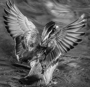 2017-04-16_Wood_Ducks_44