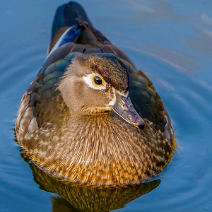2017-04-16_Wood_Ducks_16