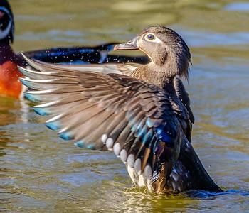 2017-04-16_Wood_Ducks_03