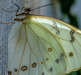 2017-04-27_Niagara_Butterflies_12