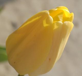 Tulips - 02