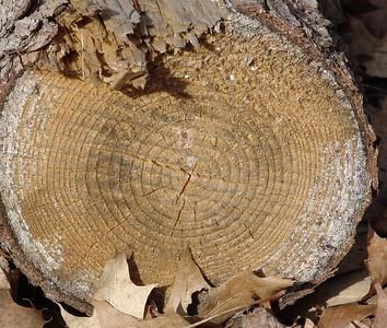 Tree Rings - 2