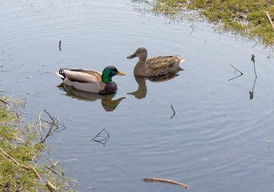 Oakbank Pond 9 April - 06