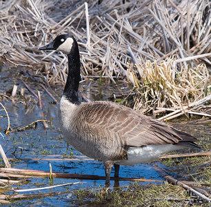 Oakbank Pond 9 April - 05