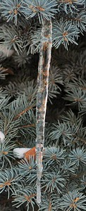 Ice on Tree - 3