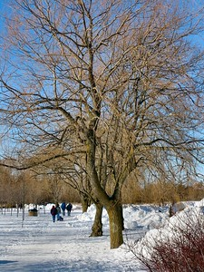 Feb 8 - 09 - Stately Tree