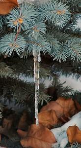 Ice on Tree - 4