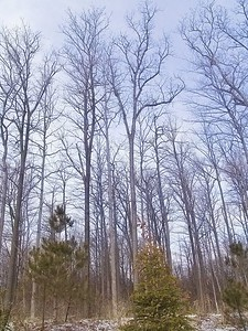Tall Trees 1