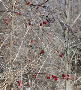 Feb 8 - 15 - Luscious Red Berries in the Middle of Winter