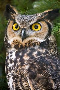 Grear Horned Owl