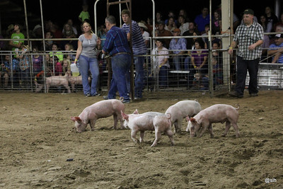 Rockdale Fair Pig Scramble 2012