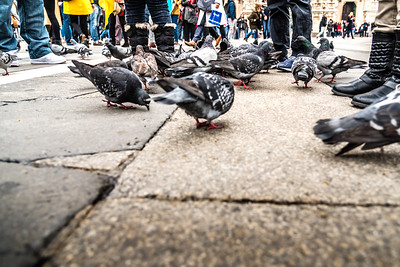 Pigeons at Milan Cathedral