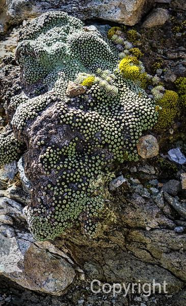 Rare Alpine Plant