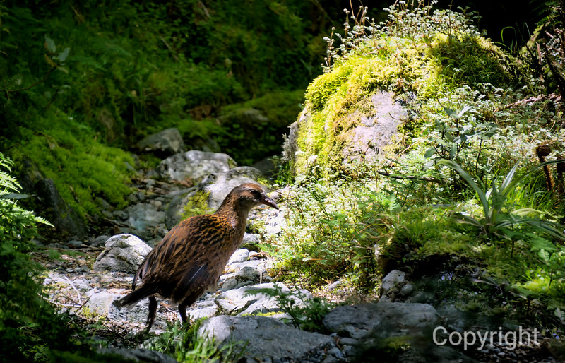 Weka NZ native bird