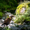 Weka NZ native bird