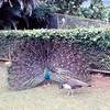 1968-01 - Peacock in Honolulu zoo