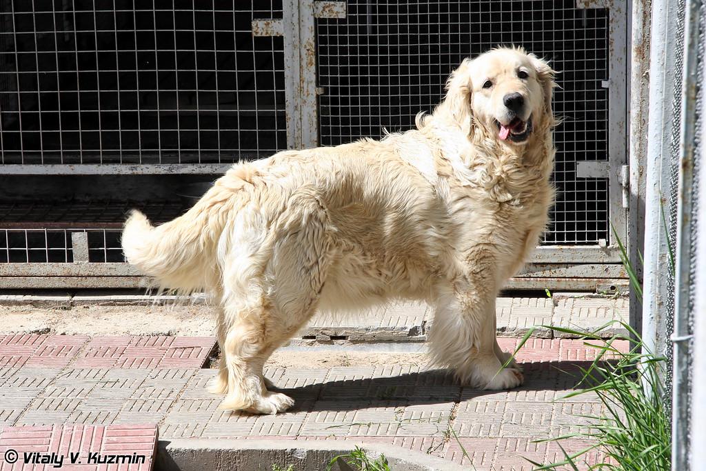 470 МКЦ готовит также собак минно-розыскной и поисково-спасательной службы, для этих целей используются в том числе и Голден ретриверы (Golden Retrievers are trained for explosives detection and search-and-rescue operations)