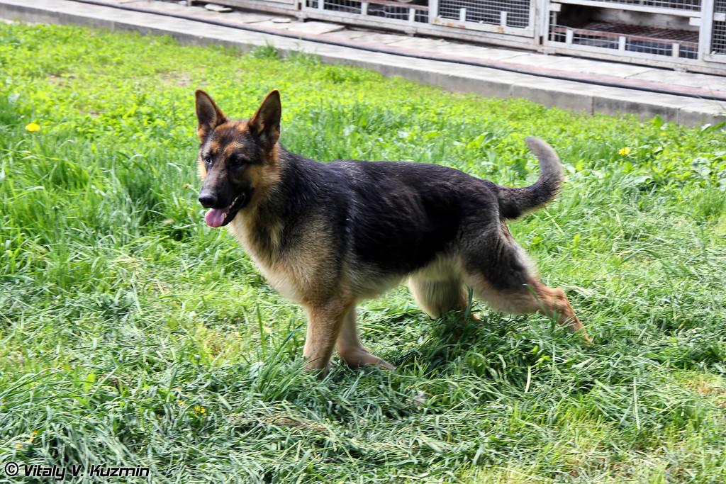 Немецкие овчарки применяются в основном для караульной и розыскной службы (German Shepherds are trained for public order enforcement, attack, scout and guard missions, and explosives detection)