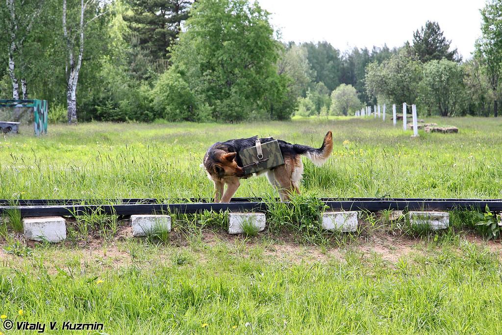 Демонстрация подрыва железнодорожных путей при помощи служебных собак. Собака в данном случае доставляет взрывное устройство, зубами вытаскивает удерживающую защелку и возвращается на позицию. Устройство же остается на путях и приводится в действие дистанционно. (Demonstration of explosives delivery to the railway lines. The charge is set off remotely)