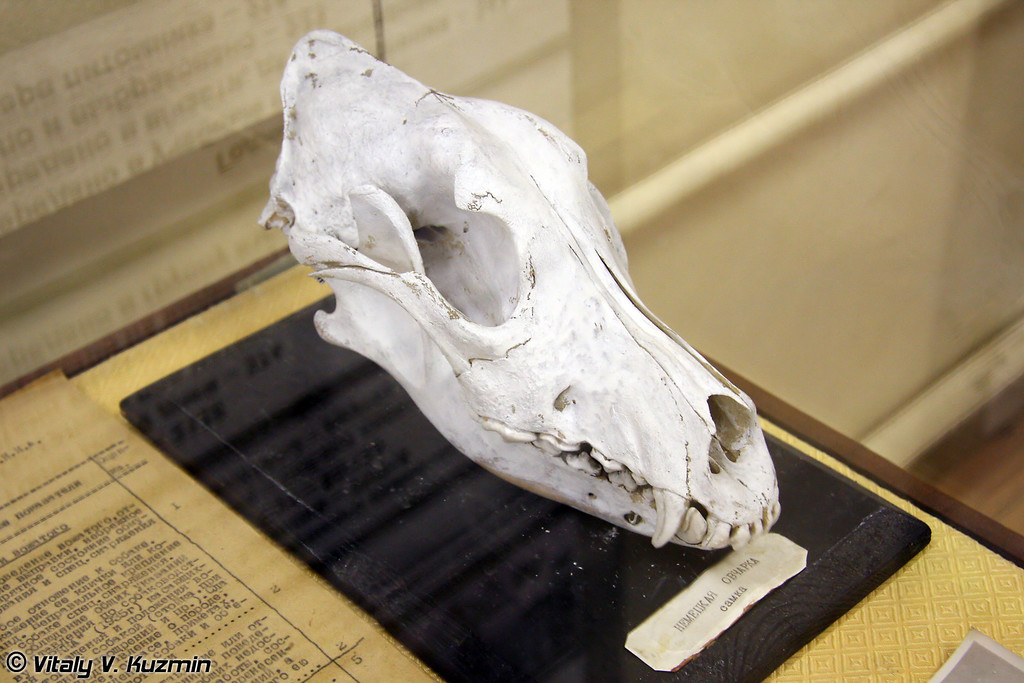 Череп Немецкой овчарки (German Shepherd skull)