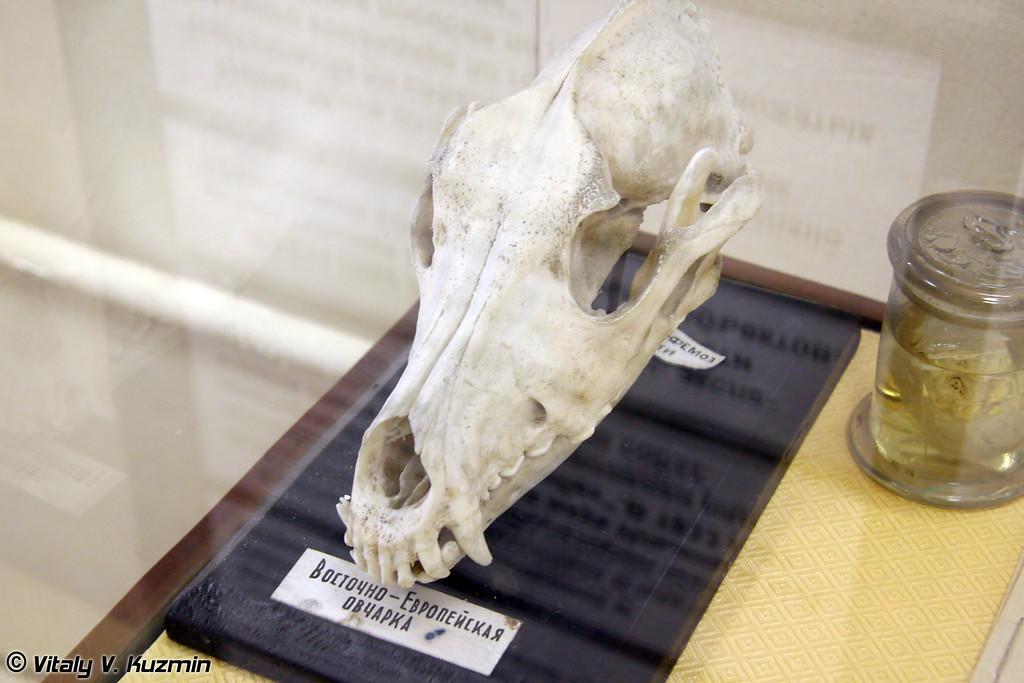 Череп Восточно-Европейской овчарки (East-European Shepherd skull)