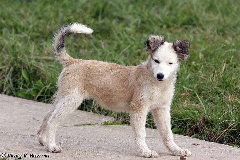 Местный пес (Division dog)