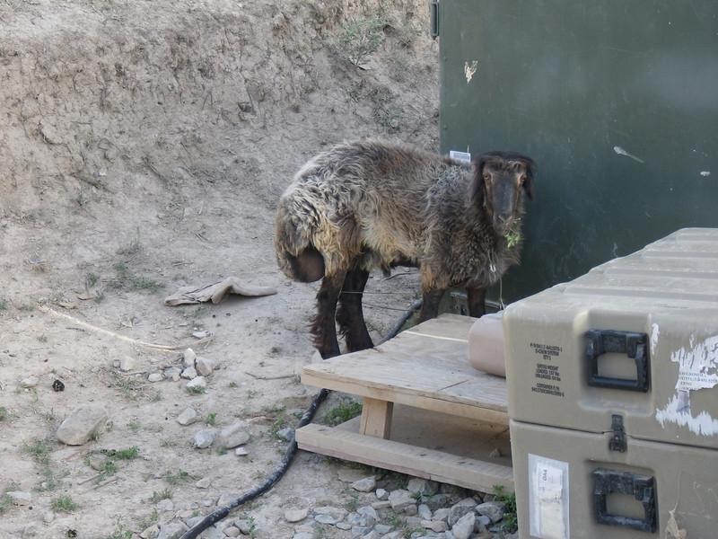 Freddie Mudflap  - AKA - Sheep - AKA - Dinner